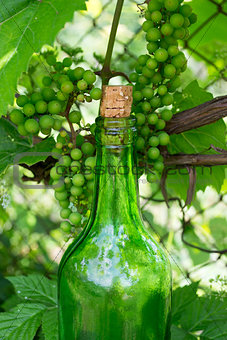 Wine bottle and young grapes on nature background