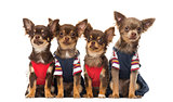 Group of dressed up Chihuahuas puppies sitting, isolated on whit