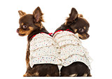 Rear view of two dressed up Chihuahuas, isolated on white