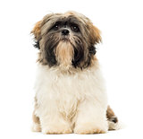 Shih Tzu puppy sitting, facing, isolated on white