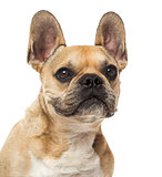 Close-up of a French Bulldog, 8 years old, isolated on white