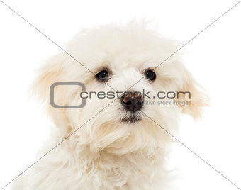 Close up of a Maltese puppy, 7 months old, isolated on white