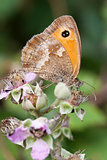 Gatekeeper Butterfly (Pyronia tithonus) on Bramble Blossom