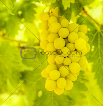 Branch of ripe white grape
