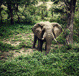 Elephant in fresh woods