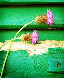 Pink cornflowers on wooden background