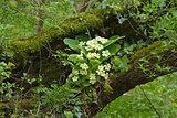 Primroses in Woodland