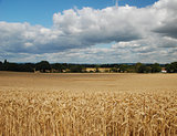 Clouds gathering over a wheat field