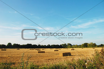 Flock of birds above a field of straw bales