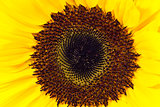 detail of the central part of the sunflower