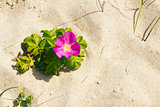 Dog rose on a beach