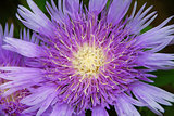 purple pink Stokes Aster Stokesia laevis flower