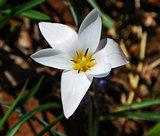 White yellow tulip flower