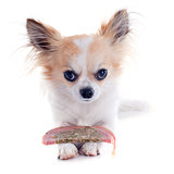 chihuahua and meat