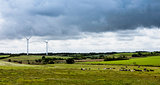 Herd of cows resting in a meadow with wind turbines