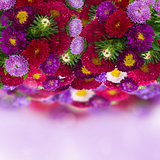 border of fresh aster flowers on bokeh background