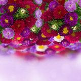 border of fresh aster flowers on bokeh background