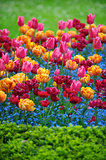 Bright Spring Flowers Colorful Pink Orange Magenta Tulips Ornamental Garden