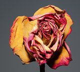 Whithered rose on gray background