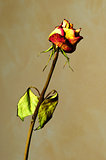 Withered rose on yellow textured background
