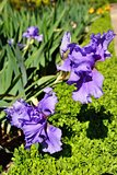 Beautiful violet irises in the garden,