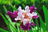 Big beautiful multicolor iris in the garden