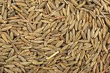 Zeera seeds close-up