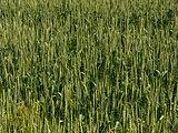 Unripe barley ears