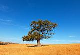 Single tree in a wheat field on a background of blue sky