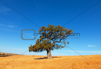 Single tree in a wheat field on a background of blue sky