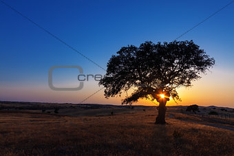 Single tree in a wheat field on a background of sunset