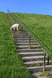 lamb on levee
