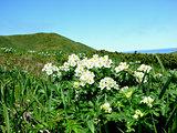 island Urup flowers
