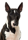 Close up of a Bull Terrier Miniature, isolated on white