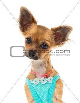 Close up of a dressed up Chihuahua, isolated on white
