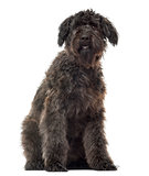Bouvier des Flandres sitting, isolated on white