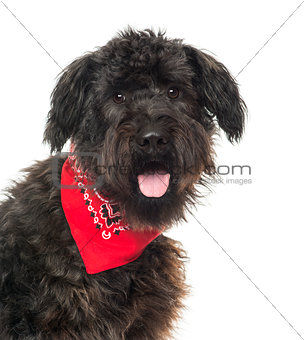 Close up of a Bouvier des Flandres, panting, with read bandana ,