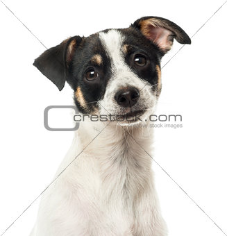 Close up of a crossbreed, isolated on white