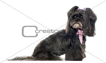 Siude view of a Lhassa apso looking back, isolated on white