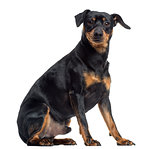 Pinscher and Jagterrier crossbreed, isolated on white, sitting,