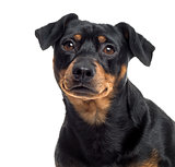Close up of a Pinscher and Jagterrier crossbreed, isolated on wh