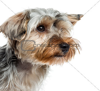 Close up of Yorkshire Terrier, isolated on white