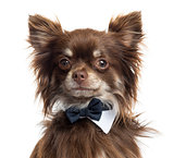 Close up of a Chihuahua wearing a bow tie, isolated on white