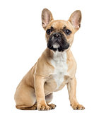 French Bulldog puppy sitting, looking up, isolated on white