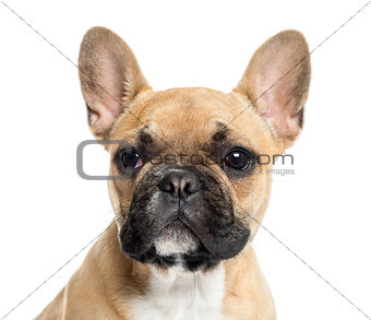 Close up of a French Bulldog puppy, isolated on white
