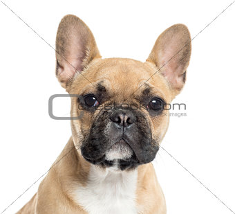 Close up of a French Bulldog puppy looking at the camera, isolat