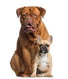 Dogue de Bordeaux panting and French bulldog puppy sitting, isol