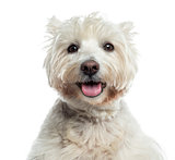 Close-up of a Westhighland WhiteTerrier panting, isolated on whi