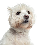 Close-up of a Westhighland WhiteTerrier, isolated on white