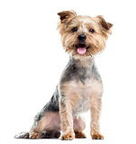 Yorkshire Terrier panting, sitting, isolated on white
